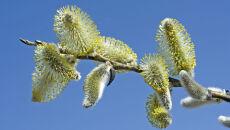 Deszcz oczyści powietrze z pyłków