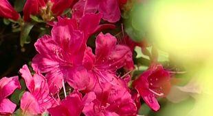 Azaliowy ogród